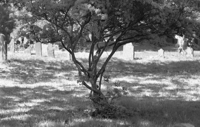 Beautiful tree in historic Concord graveyard downtown, wide open aperture.